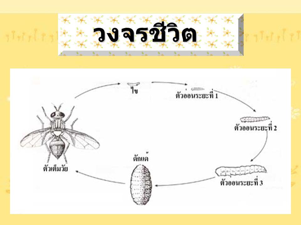 ลักษณะ ทั่วไป ลักษณะ ทั่วไป  เป็นแมลงขนาดเล็ก  ส่วนหัว อก และท้องมีสีน้ำตาลอ่อน ที่สันหลังอกมี แถบสีเหลืองทองเป็นแห่ง ๆ  ปีกใส มีปีกเพียง 1 คู่ คู่