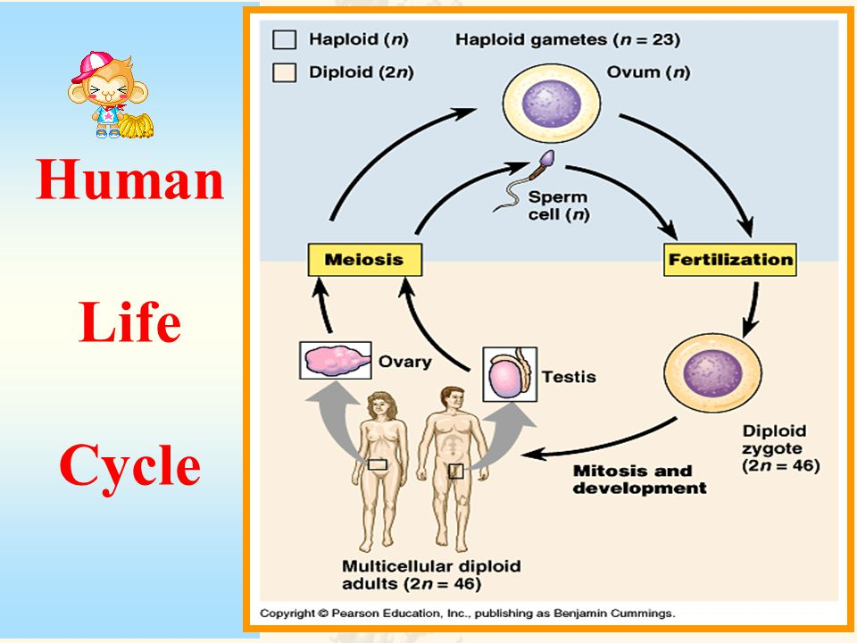 Meiosis is a cell division process in organisms that sexually reproduce. Meiosis Sexual reproduction occurs only in eukaryotes. During the formation o