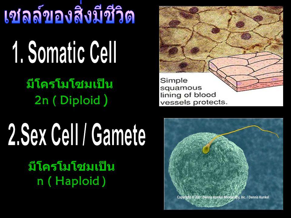 มีโครโมโซมเป็น 2n ( Diploid ) มีโครโมโซมเป็น n ( Haploid )