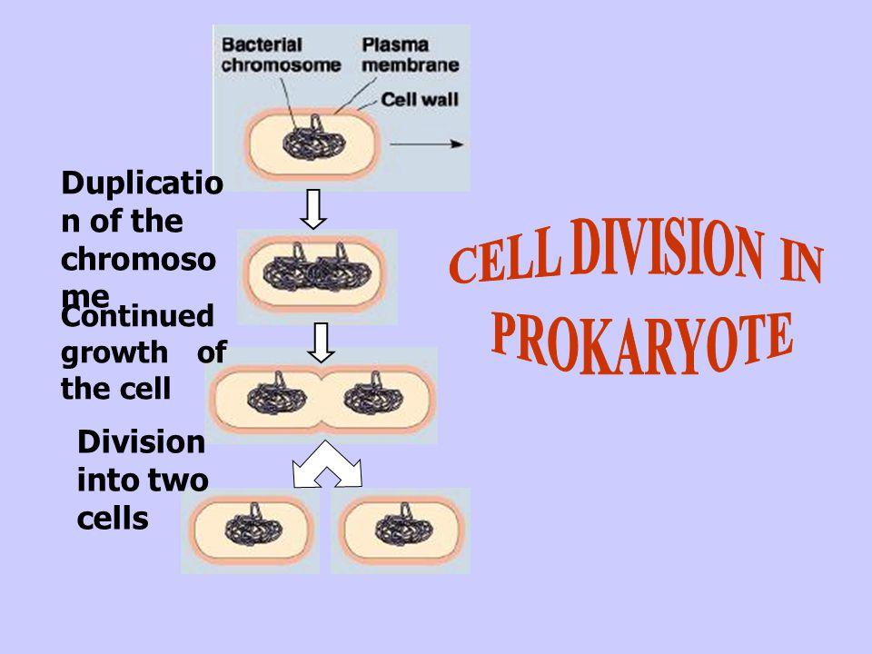 Cytokinesis begins-- formation of daughter cells.