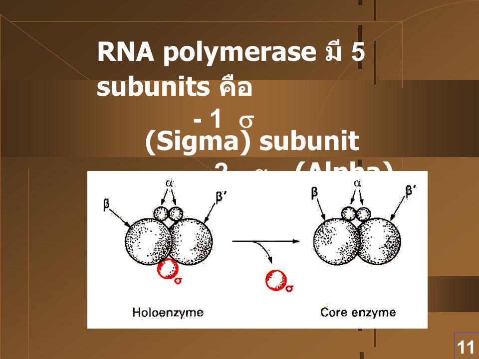 11 RNA polymerase มี 5 subunits คือ - 1  (Sigma) subunit - 2  (Alpha) subunits - 2  (Beta) subunits