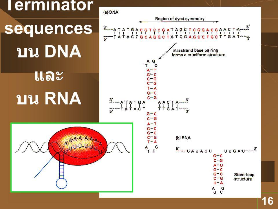 16 Terminator sequences บน DNA และ บน RNA