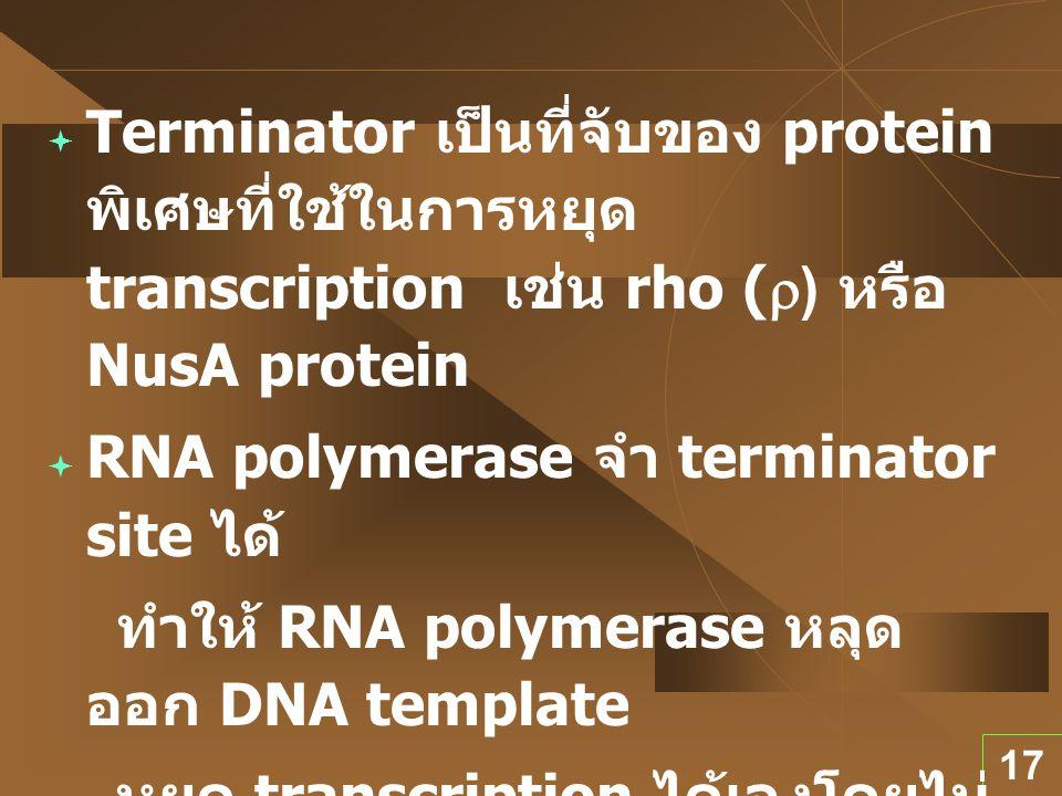 17  Terminator เป็นที่จับของ protein พิเศษที่ใช้ในการหยุด transcription เช่น rho (  ) หรือ NusA protein  RNA polymerase จำ terminator site ได้ ทำให