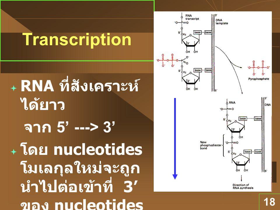 18 Direction ของ Transcription  RNA ที่สังเคราะห์ ได้ยาว จาก 5' ---> 3'  โดย nucleotides โมเลกุลใหม่จะถูก นำไปต่อเข้าที่ 3' ของ nucleotides ที่มีอยู