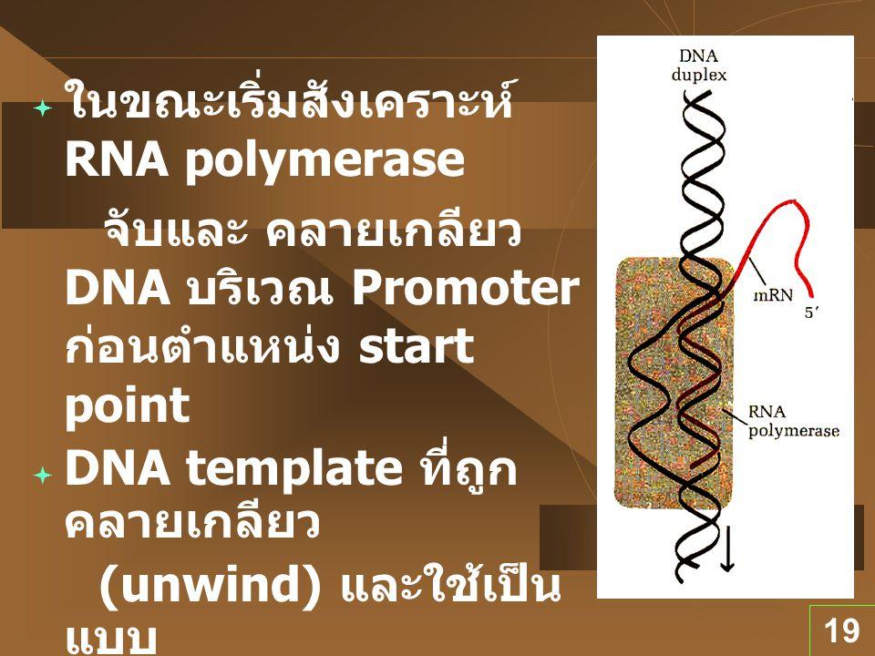 19  ในขณะเริ่มสังเคราะห์ RNA polymerase จับและ คลายเกลียว DNA บริเวณ Promoter ก่อนตำแหน่ง start point  DNA template ที่ถูก คลายเกลียว (unwind) และใช