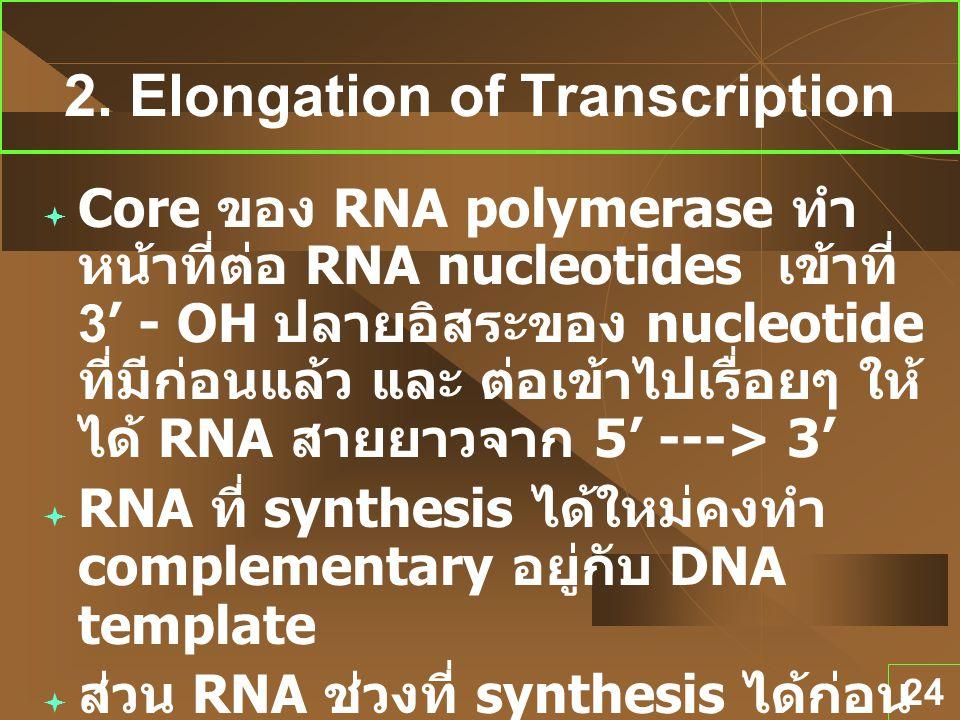 24 2. Elongation of Transcription  Core ของ RNA polymerase ทำ หน้าที่ต่อ RNA nucleotides เข้าที่ 3' - OH ปลายอิสระของ nucleotide ที่มีก่อนแล้ว และ ต่