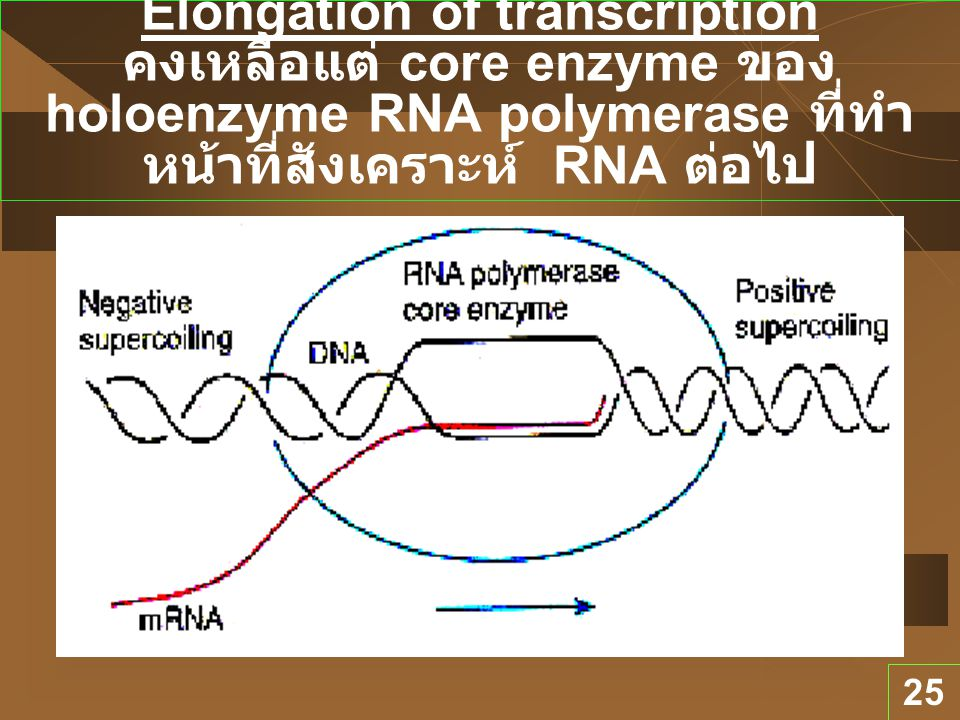 25 Elongation of transcription คงเหลือแต่ core enzyme ของ holoenzyme RNA polymerase ที่ทำ หน้าที่สังเคราะห์ RNA ต่อไป