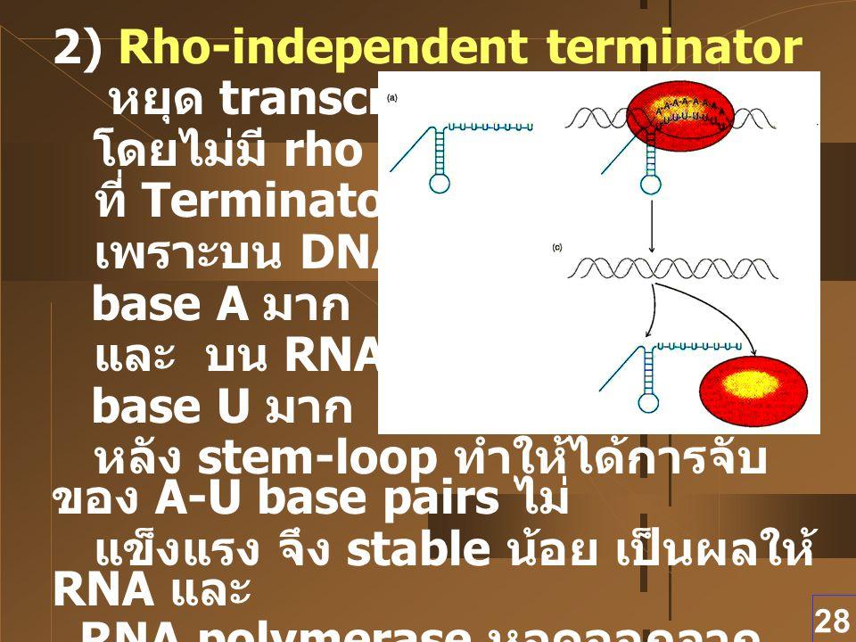 28 2) Rho-independent terminator หยุด transcription โดยไม่มี rho protein ที่ Terminator เพราะบน DNA มี base A มาก และ บน RNA มี base U มาก หลัง stem-l