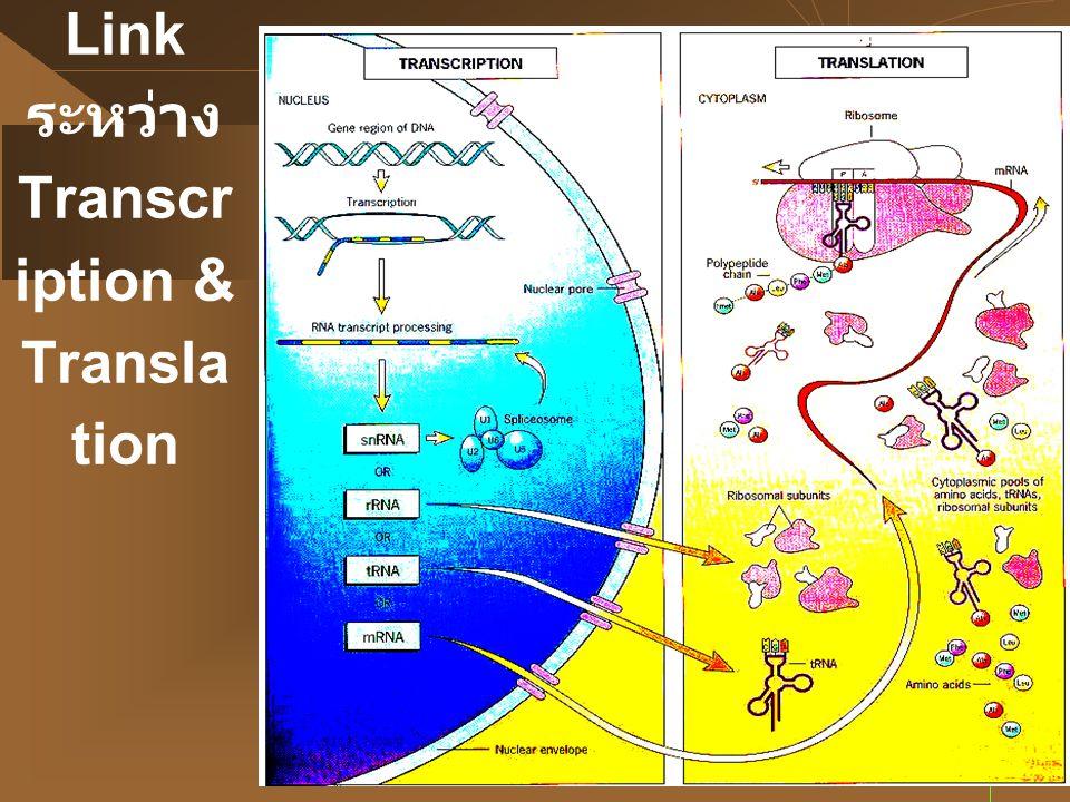 3 Link ระหว่าง Transcr iption & Transla tion