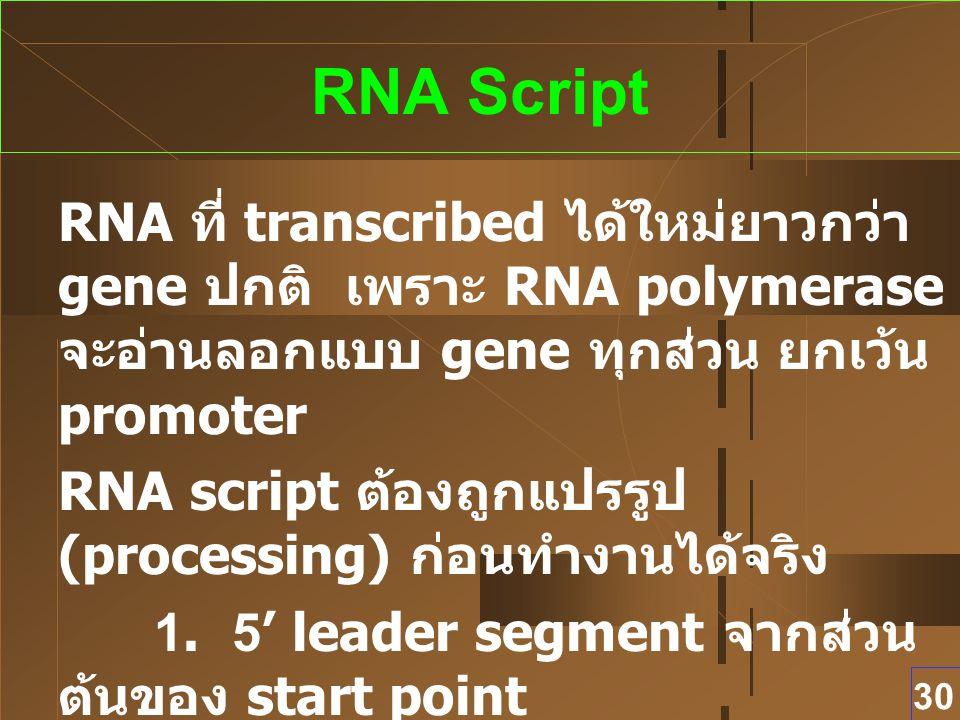 30 RNA Script RNA ที่ transcribed ได้ใหม่ยาวกว่า gene ปกติ เพราะ RNA polymerase จะอ่านลอกแบบ gene ทุกส่วน ยกเว้น promoter RNA script ต้องถูกแปรรูป (pr