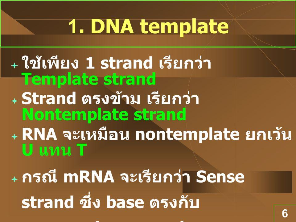 6 1. DNA template  ใช้เพียง 1 strand เรียกว่า Template strand  Strand ตรงข้าม เรียกว่า Nontemplate strand  RNA จะเหมือน nontemplate ยกเว้น U แทน T