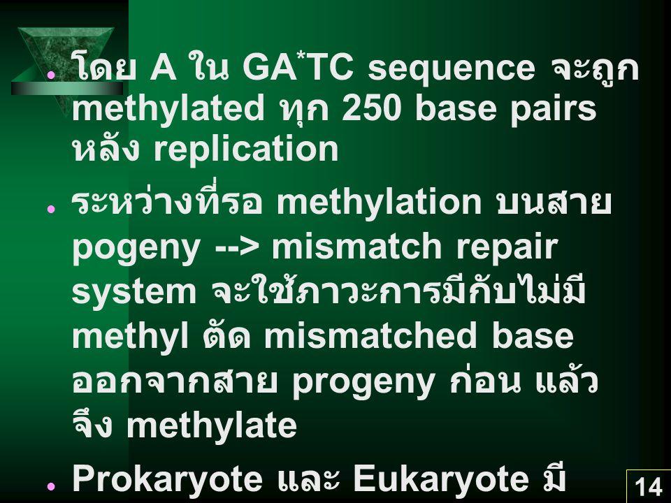 14 โดย A ใน GA * TC sequence จะถูก methylated ทุก 250 base pairs หลัง replication ระหว่างที่รอ methylation บนสาย pogeny --> mismatch repair system จะใ