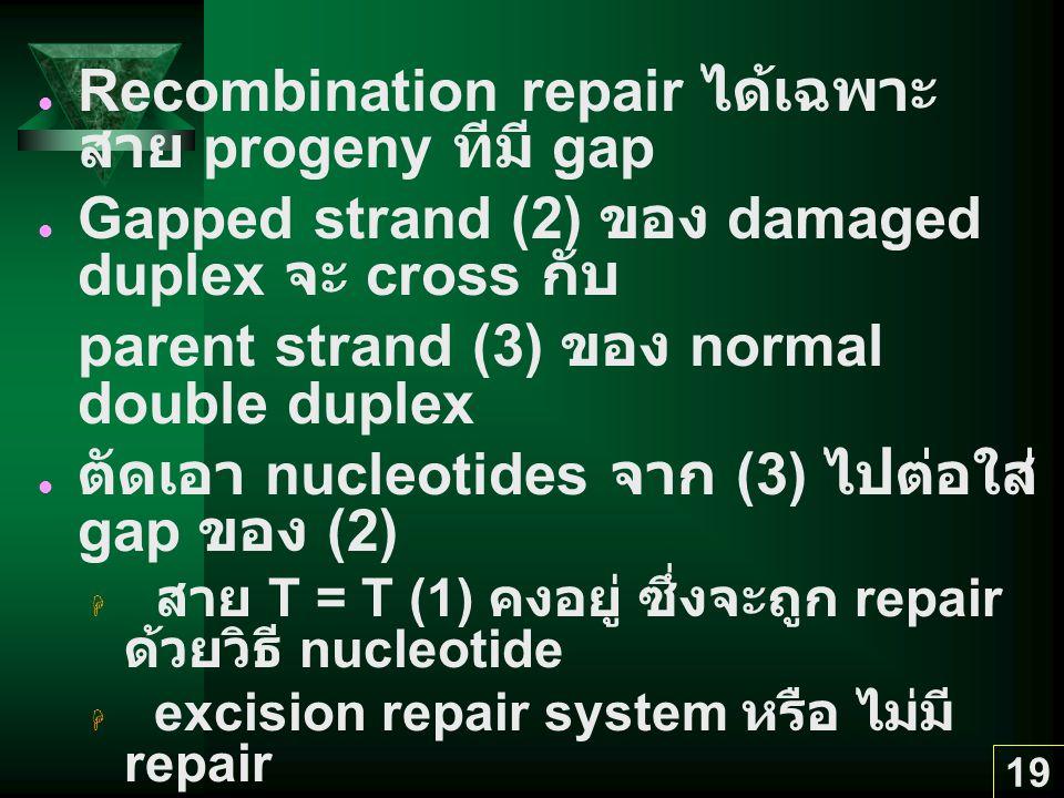 19 Recombination repair ได้เฉพาะ สาย progeny ทีมี gap Gapped strand (2) ของ damaged duplex จะ cross กับ parent strand (3) ของ normal double duplex ตัดเอา nucleotides จาก (3) ไปต่อใส่ gap ของ (2)  สาย T = T (1) คงอยู่ ซึ่งจะถูก repair ด้วยวิธี nucleotide  excision repair system หรือ ไม่มี repair  สาย gapped (2) สมบูรณ์ Parent strand (3) ของ sister duplex มี gap --> filled ด้วย DNA pol I & DNA ligase --> sister duplex (3 & 4) สมบูรณ์