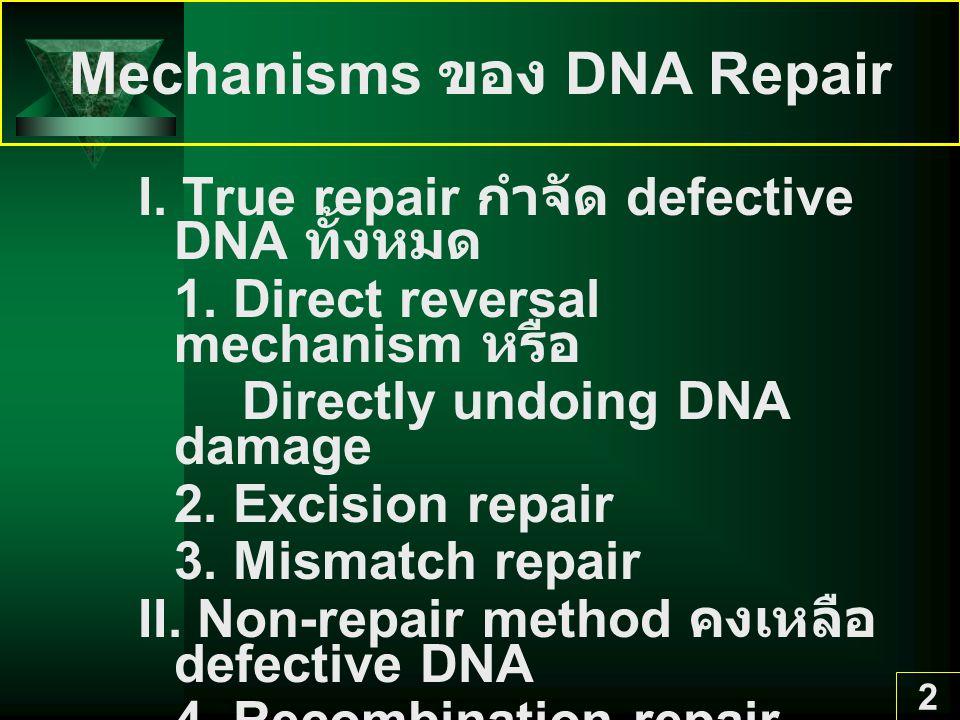23 Error-prone repair เป็น ระบบที่ทำให้ replication ที่ damaged sites โดยใส่ base ผิด UV activates RecA RacA cleaves LexA umuDC operon trnscribes UmuC & UmuD ยอมให้ DNA replicate ใส่ bases คู่กับ T = T dimer