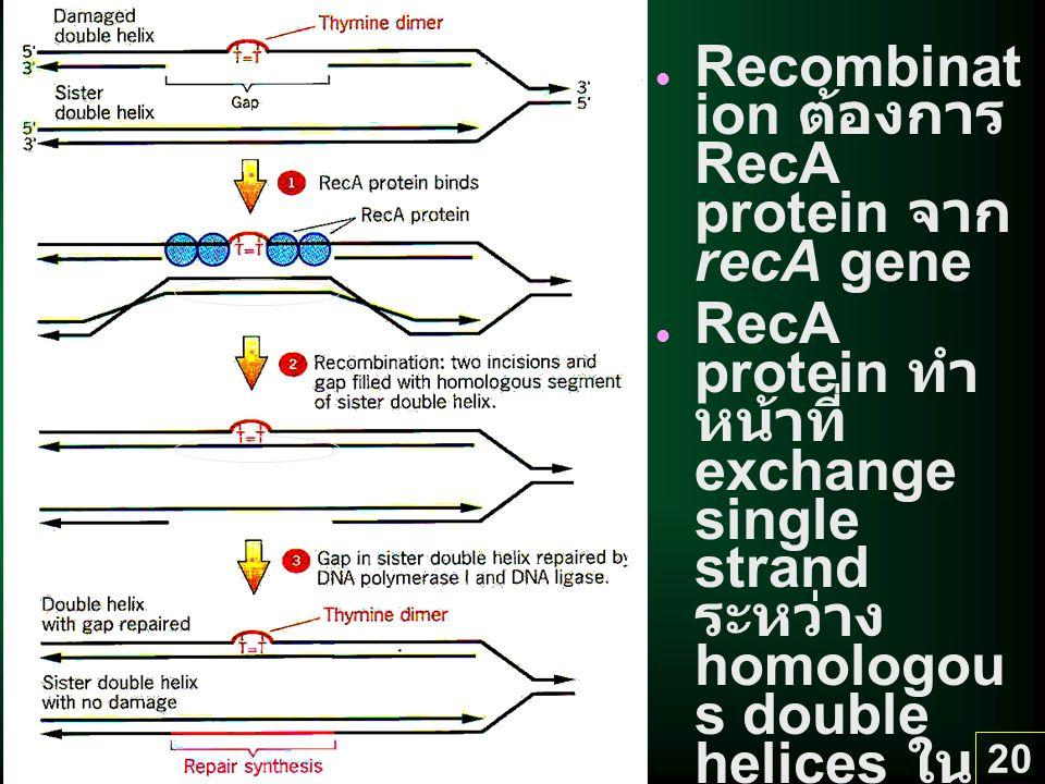 20 Recombinat ion ต้องการ RecA protein จาก recA gene RecA protein ทำ หน้าที่ exchange single strand ระหว่าง homologou s double helices ใน homologou s