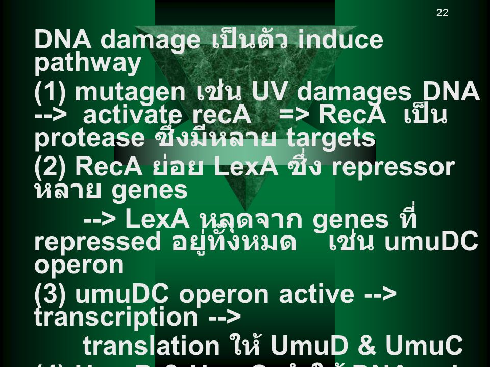 22 DNA damage เป็นตัว induce pathway (1) mutagen เช่น UV damages DNA --> activate recA => RecA เป็น protease ซึ่งมีหลาย targets (2) RecA ย่อย LexA ซึ่ง repressor หลาย genes --> LexA หลุดจาก genes ที่ repressed อยู่ทั้งหมด เช่น umuDC operon (3) umuDC operon active --> transcription --> translation ให้ UmuD & UmuC (4) UmuD & UmuC ทำให้ DNA pol ที่หยุด ณ damaged site replication ต่อไป แต่ใส่ base ผิด เช่นใส่ GC เข้ากับ T=T และ replication ดำเนินการต่อไป