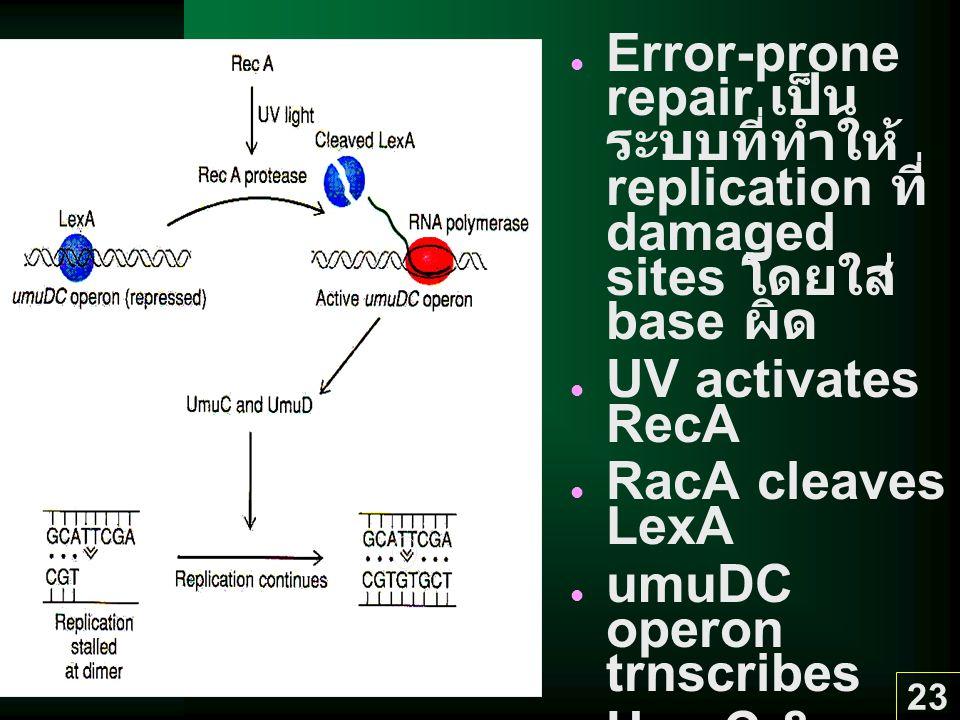 23 Error-prone repair เป็น ระบบที่ทำให้ replication ที่ damaged sites โดยใส่ base ผิด UV activates RecA RacA cleaves LexA umuDC operon trnscribes UmuC