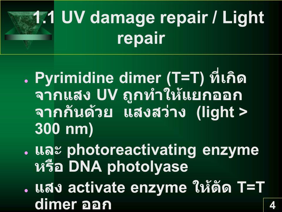 4 1.1 UV damage repair / Light repair Pyrimidine dimer (T=T) ที่เกิด จากแสง UV ถูกทำให้แยกออก จากกันด้วย แสงสว่าง (light > 300 nm) และ photoreactivating enzyme หรือ DNA photolyase แสง activate enzyme ให้ตัด T=T dimer ออก พบใน bacteria, microbial eukaryote และพืช