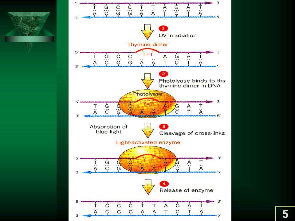 6 1.2 Direct reversion ของ Methylation / Ethlyation ซ่อมแซม DNA ที่ ถูก methylation หรือ ethylation O 6 - methylguanine methyltransferase รับ methyl หรือ ethyl group จาก Guanine บน DNA Enzyme นี้มี sulfur atom ของ cystein เป็นตัวรับ methyl หรือ ethyl แล้ว enzyme ใช้อีกไม่ได้ เป็น suicide enzyme เป็นการ ซ่อมที่แพงมาก พบในตั้งแต่ E.