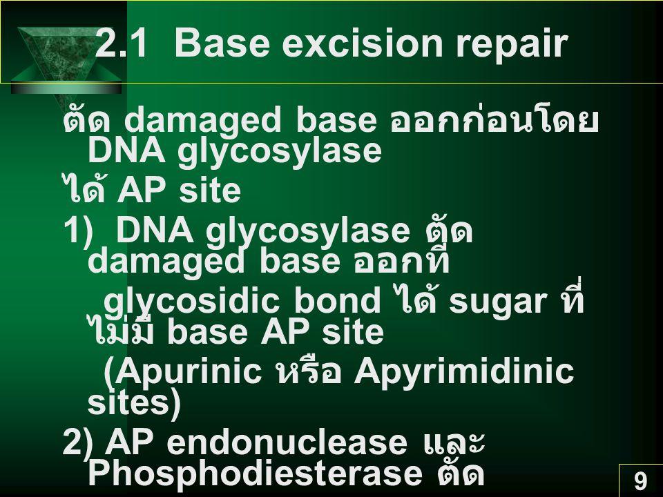 9 2.1 Base excision repair ตัด damaged base ออกก่อนโดย DNA glycosylase ได้ AP site 1) DNA glycosylase ตัด damaged base ออกที่ glycosidic bond ได้ sugar ที่ ไม่มี base AP site (Apurinic หรือ Apyrimidinic sites) 2) AP endonuclease และ Phosphodiesterase ตัด sugar-phosphate group ออก 3) DNA polymerase ใส่ base ใหม่เข้าไป 4) DNA ligase เชื่อม 2 nucleotides ให้ต่อกัน