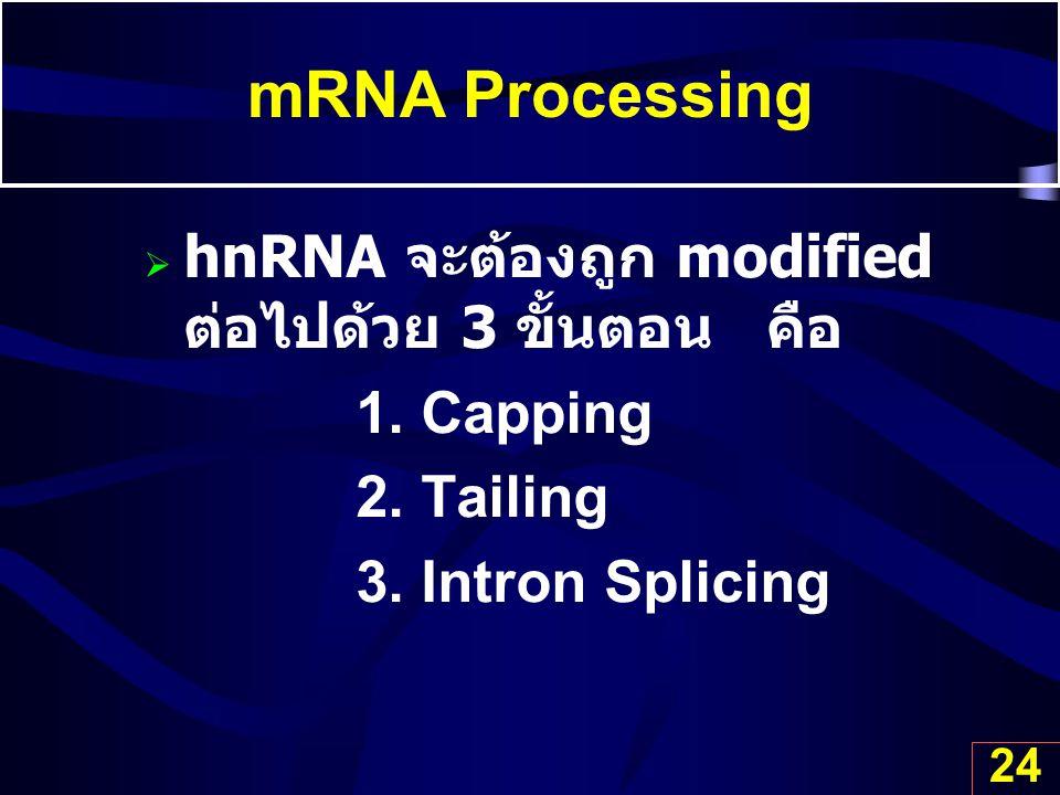 24 mRNA Processing  hnRNA จะต้องถูก modified ต่อไปด้วย 3 ขั้นตอน คือ 1. Capping 2. Tailing 3. Intron Splicing