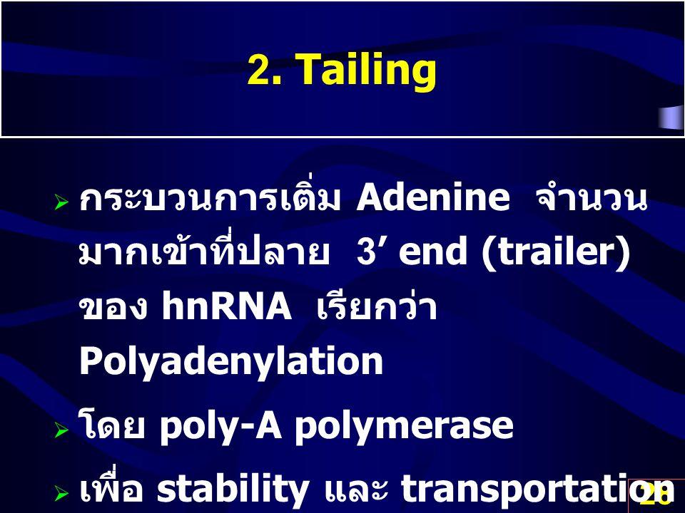 28 2. Tailing  กระบวนการเติ่ม Adenine จำนวน มากเข้าที่ปลาย 3' end (trailer) ของ hnRNA เรียกว่า Polyadenylation  โดย poly-A polymerase  เพื่อ stabil