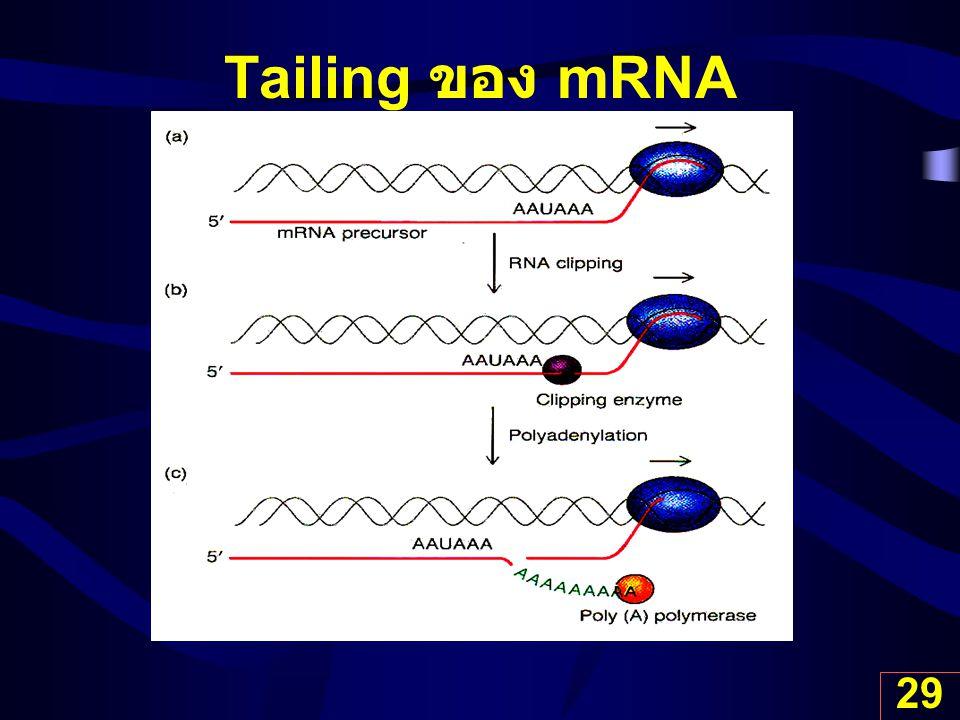 29 Tailing ของ mRNA
