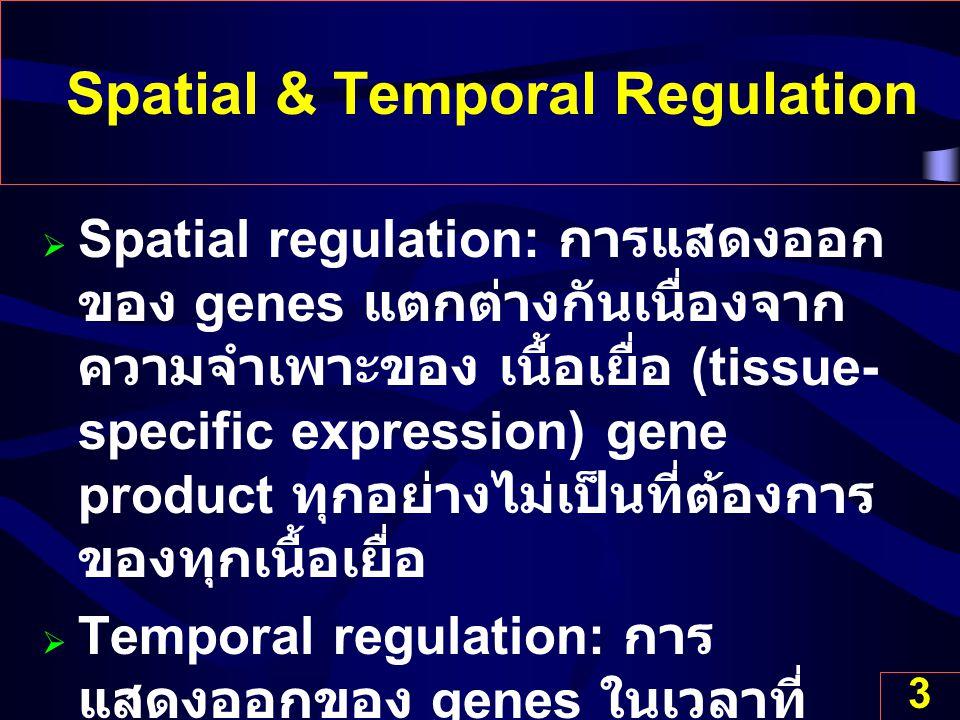3 Spatial & Temporal Regulation  Spatial regulation: การแสดงออก ของ genes แตกต่างกันเนื่องจาก ความจำเพาะของ เนื้อเยื่อ (tissue- specific expression)