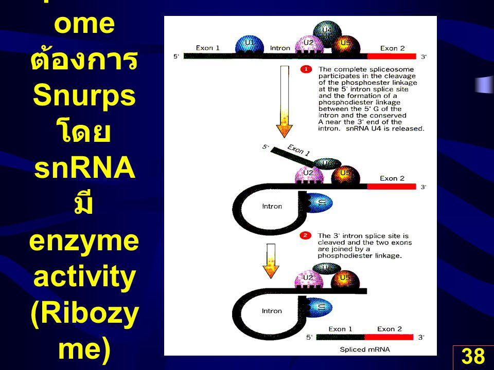38 Spliceos ome ต้องการ Snurps โดย snRNA มี enzyme activity (Ribozy me)