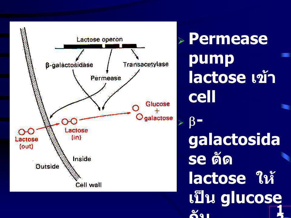 13  Permease pump lactose เข้า cell   - galactosida se ตัด lactose ให้ เป็น glucose กับ galactose  Transacetyl ase ช่วยใน การตัด lacotse