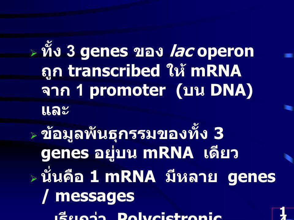 14  ทั้ง 3 genes ของ lac operon ถูก transcribed ให้ mRNA จาก 1 promoter ( บน DNA) และ  ข้อมูลพันธุกรรมของทั้ง 3 genes อยู่บน mRNA เดียว  นั่นคือ 1 mRNA มีหลาย genes / messages เรียกว่า Polycistronic message