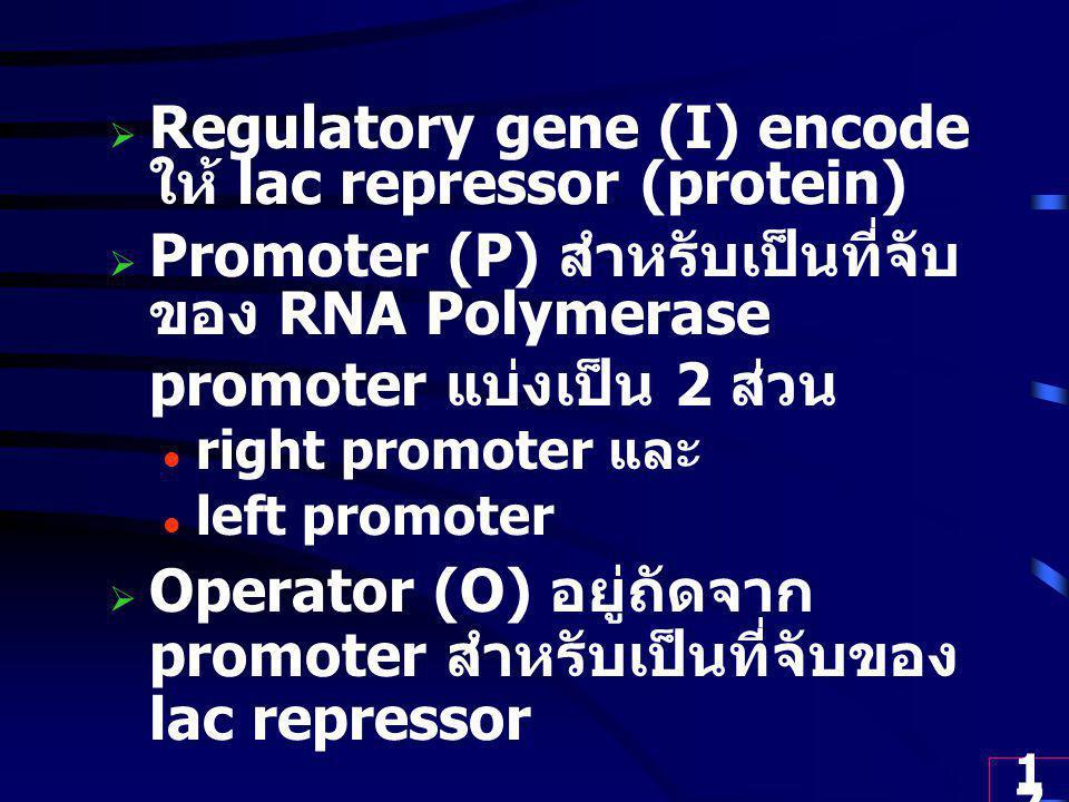 17  Regulatory gene (I) encode ให้ lac repressor (protein)  Promoter (P) สำหรับเป็นที่จับ ของ RNA Polymerase promoter แบ่งเป็น 2 ส่วน right promoter