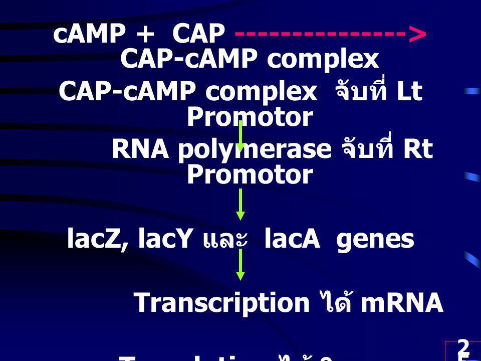25 cAMP + CAP ---------------> CAP-cAMP complex CAP-cAMP complex จับที่ Lt Promotor RNA polymerase จับที่ Rt Promotor lacZ, lacY และ lacA genes Transcription ได้ mRNA Translation ได้ 3 enzymes