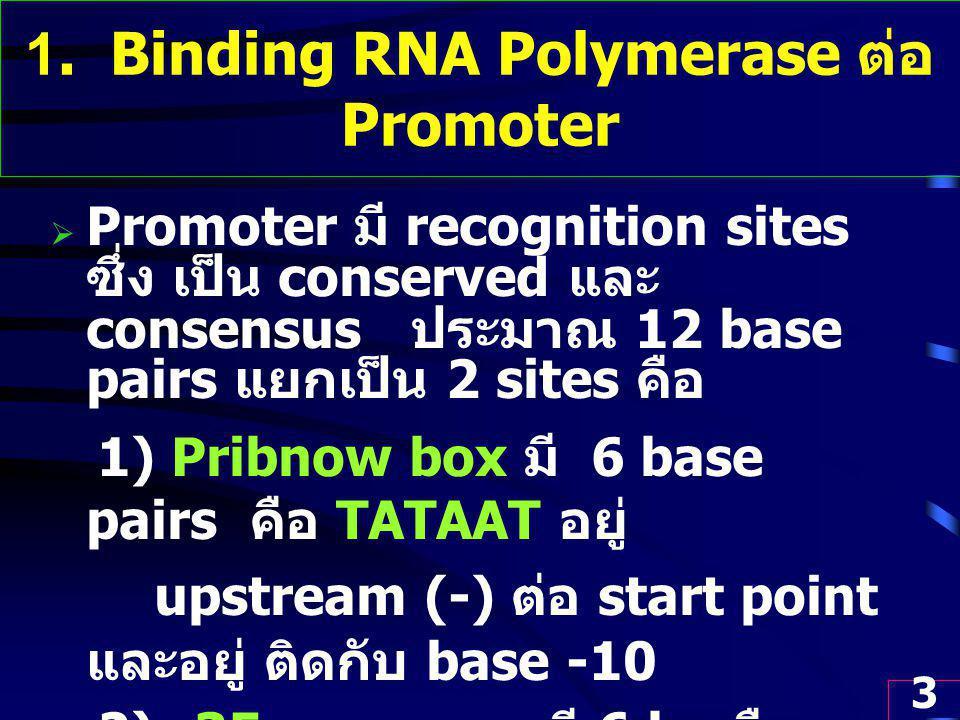 3 1. Binding RNA Polymerase ต่อ Promoter  Promoter มี recognition sites ซึ่ง เป็น conserved และ consensus ประมาณ 12 base pairs แยกเป็น 2 sites คือ 1)