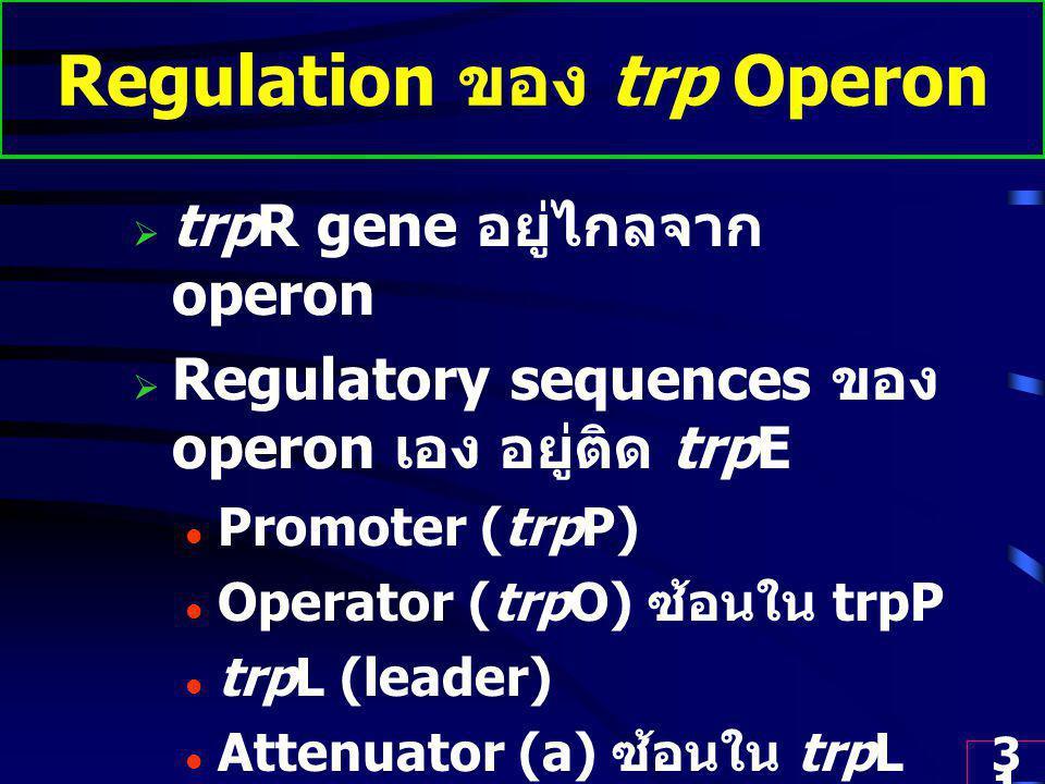 31 Regulation ของ trp Operon  trpR gene อยู่ไกลจาก operon  Regulatory sequences ของ operon เอง อยู่ติด trpE Promoter (trpP) Operator (trpO) ซ้อนใน trpP trpL (leader) Attenuator (a) ซ้อนใน trpL