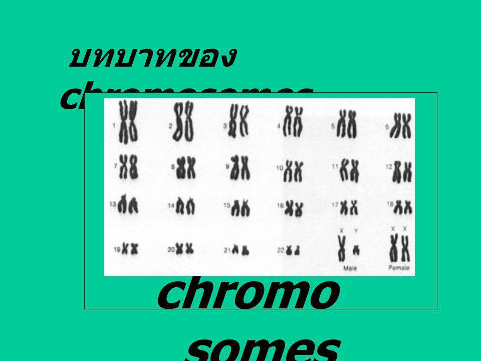 บทบาทของ chromosomes chromo somes