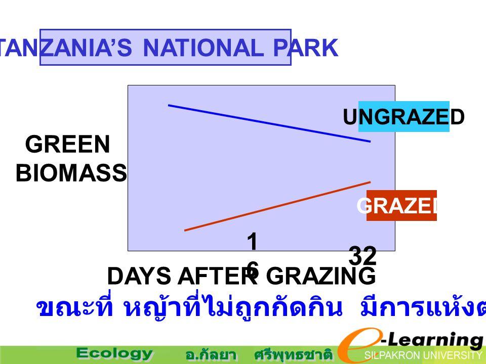 GREEN BIOMASS DAYS AFTER GRAZING 1616 32 UNGRAZED GRAZED ขณะที่ หญ้าที่ไม่ถูกกัดกิน มีการแห้งตายไป TANZANIA'S NATIONAL PARK