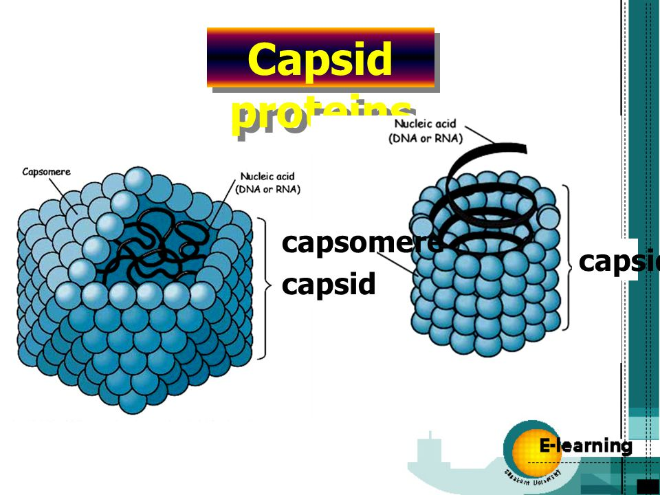 Capsid proteins capsid capsomere capsid