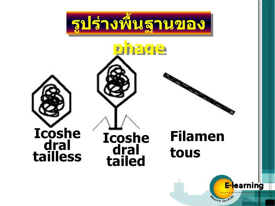 รูปร่างพื้นฐานของ phage Icoshe dral tailless Icoshe dral tailed Filamen tous