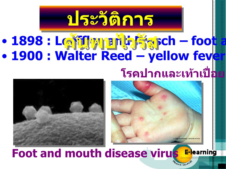 1898 : Loeffler and Frosch – foot and mouth disease virus 1900 : Walter Reed – yellow fever virus โรคปากและเท้าเปื่อย Foot and mouth disease virus ประ