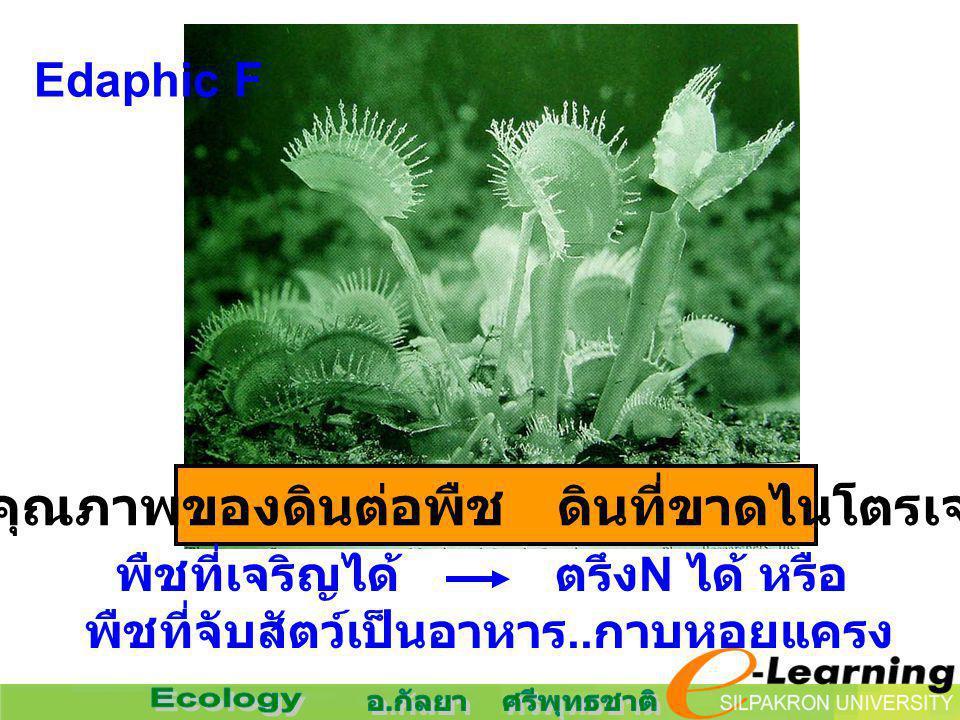 Edaphic F คุณภาพของดินต่อพืช ดินที่ขาดไนโตรเจน พืชที่เจริญได้ ตรึง N ได้ หรือ พืชที่จับสัตว์เป็นอาหาร.. กาบหอยแครง