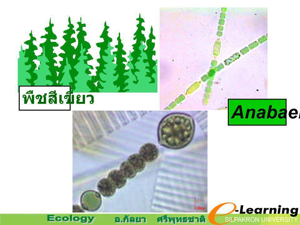 Anabaena พืชสีเขียว
