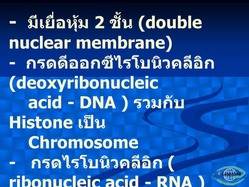 - มีเยื่อหุ้ม 2 ชั้น (double nuclear membrane) - กรดดีออกซีไรโบนิวคลีอิก (deoxyribonucleic acid - DNA ) รวมกับ Histone เป็น Chromosome - กรดไรโบนิวคลี