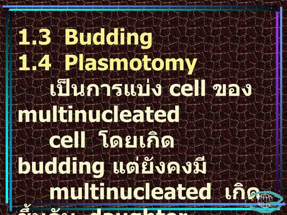 1.3 Budding 1.4 Plasmotomy เป็นการแบ่ง cell ของ multinucleated cell โดยเกิด budding แต่ยังคงมี multinucleated เกิด ขึ้นกับ daughter cells