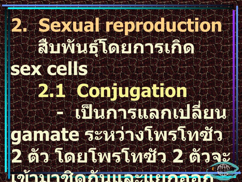 2. Sexual reproduction สืบพันธุ์โดยการเกิด sex cells 2.1 Conjugation - เป็นการแลกเปลี่ยน gamate ระหว่างโพรโทซัว 2 ตัว โดยโพรโทซัว 2 ตัวจะ เข้ามาชิดกัน
