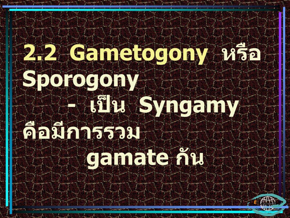 2.2 Gametogony หรือ Sporogony - เป็น Syngamy คือมีการรวม gamate กัน
