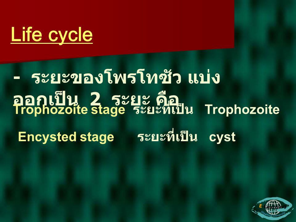 Life cycle - ระยะของโพรโทซัว แบ่ง ออกเป็น 2 ระยะ คือ Trophozoite stage ระยะที่เป็น Trophozoite Encysted stage ระยะที่เป็น cyst