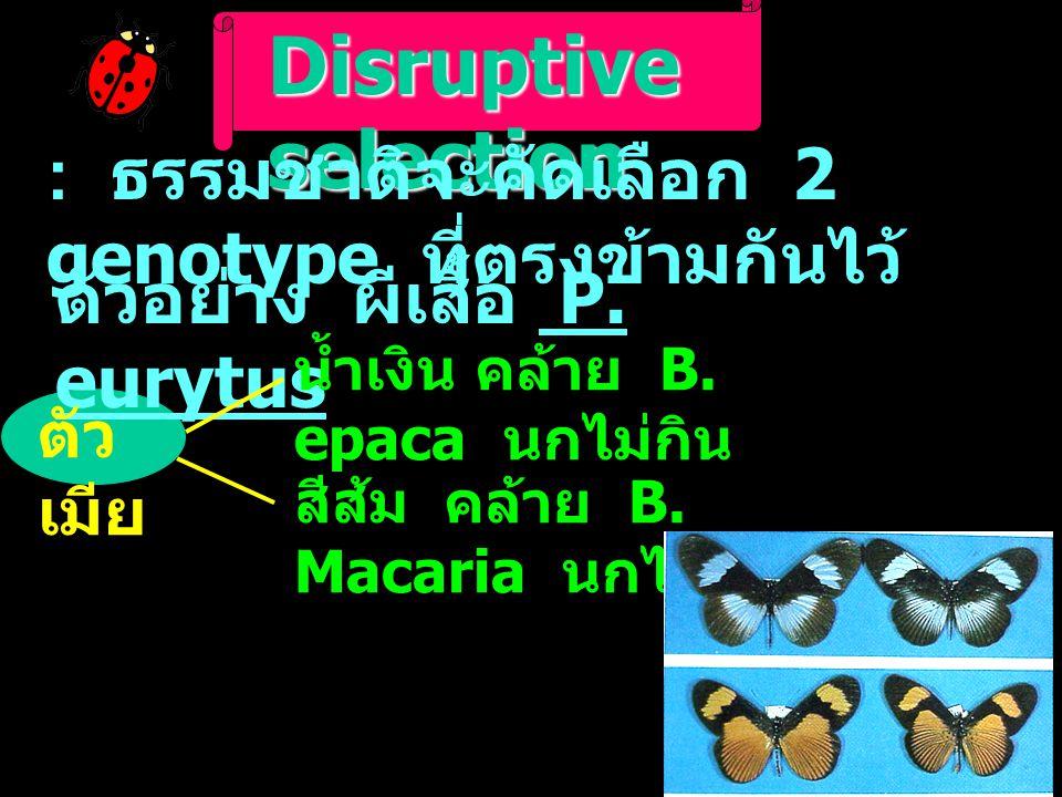 Disruptive selection : ธรรมชาติจะคัดเลือก 2 genotype ที่ตรงข้ามกันไว้ ตัวอย่าง ผีเสื้อ P. eurytus ตัว เมีย น้ำเงิน คล้าย B. epaca นกไม่กิน สีส้ม คล้าย