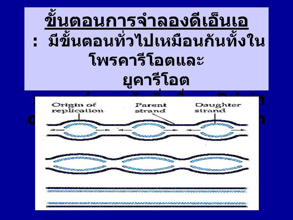 : การสังเคราะห์ดีเอ็นเอสายใหม่ เกิดจากการทำงานของ DNA polymerase โดยอาศัยดีเอ็นเอสายเดิมเป็นต้นแบบ