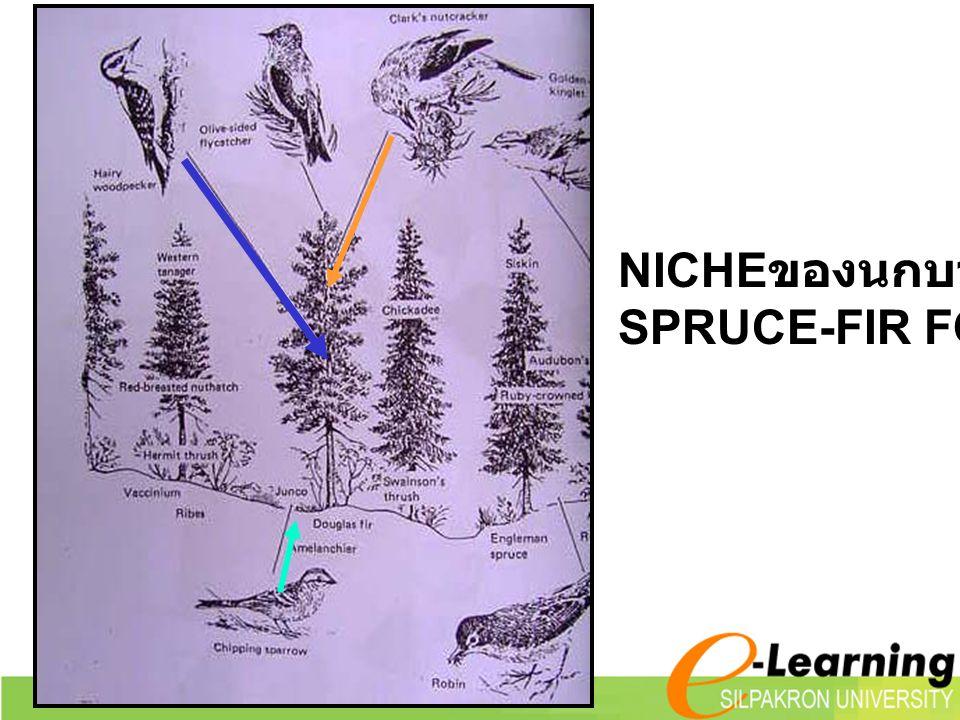 NICHE ของนกบางชนิด SPRUCE-FIR FOREST